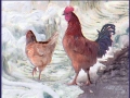 Two Chickens in Snow