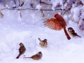 cardinal-in-snow-w-sparrows