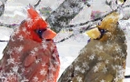 cardinals-in-snow-3