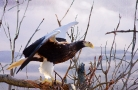 Sea Eagle-from-side