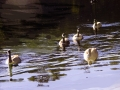 Geese on Water