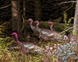 Turkeys in Wood