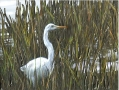 White Heron Tall Grass