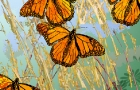 Migrating Monarchs