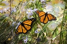 Monarchs in Asters