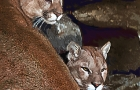 cougars-in-their-lare_0