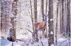 deer-in-snow_0