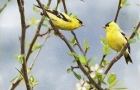 goldfinch-spring-4-print