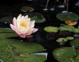 Water Lilly & Pads