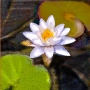White-Waterlilly