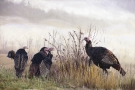 turkeys-in-mist