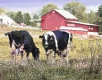 Cows red-barn